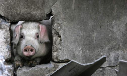 HELDIGGRIS: Denne grisen kikker gjennom et hull i et sammenrast hus i landsbyen Renhe i den jordskjelvrammede Sichuan-provinsen i Kina i mai. Foto: Nicky Loh