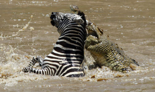 D�DSBITTET: Denne Zebraen m� gi tapt for en velvoksen krokodille i Mara-elven i Masai Mara naturreservat i Kenya i november i �r. Foto: Laszlo Balogh