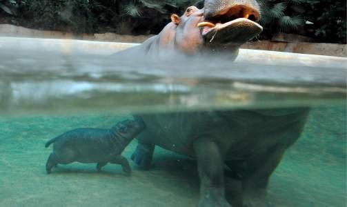 SV�MMER: Sammen med mamma, Kati, viste den lille flodhest-ungen seg fram for f�rste gang for publikum i Berlin Zoo i dag. Foto: GERO BRELOE/SCANPIX