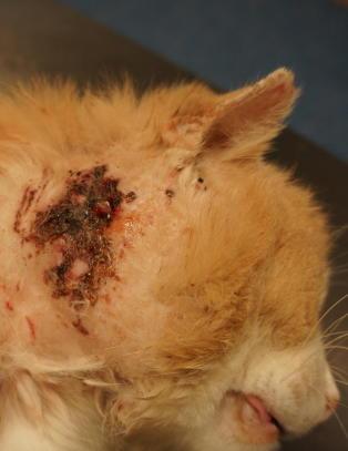 Frykter stort utbrudd av katteaids i Norge