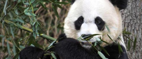 Panda f�dt i dyrepark i Washington etter  kunstig befruktning