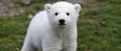 Knut var verdens mest kjente isbj�rn da han plutselig kollapset. N� er d�dsmysteriet endelig oppklart