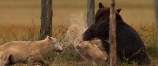 Her labber bj�rnen til ulven som fors�ker � stjele middagen hans