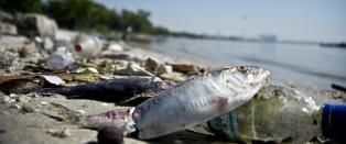 Tusentalls av d�de fisker dekker strendene n�r Brasils Olympiapark