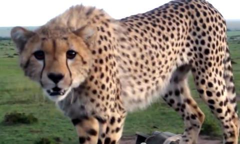 Geparden skal t�ffe seg, men turistene bryter ut i latter