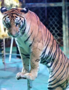 Uviss skjebne for 119 dyr, etter nederlandsk forbud mot ville dyr p� sirkus