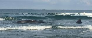 Stor hval strandet i Rogaland: - Mest sannsynlig d�d