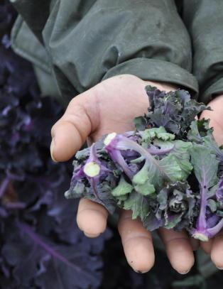 Her h�stes en helt ny gr�nnsak i Norge