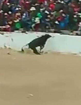 Oksen hopper opp på tribunen og går til angrep på publikummere