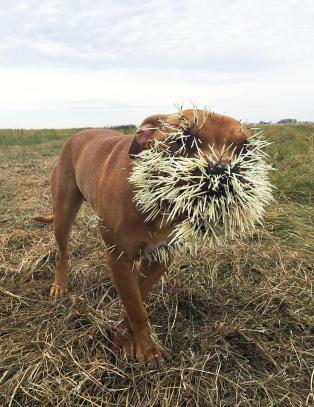 Hunden Mahalo fikk en ubehagelig overraskelse