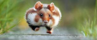 Hamster med d�rlig tid er k�ret til �rets morsomste dyrebilde