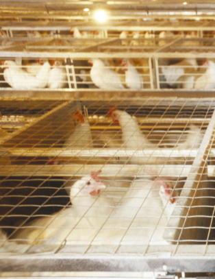 Lidl stopper salg av egg fra burh�ns i Danmark