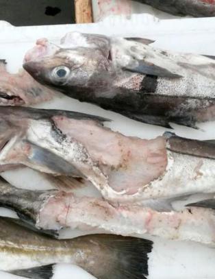 Invaderes av fredet hai som spiser opp fangsten