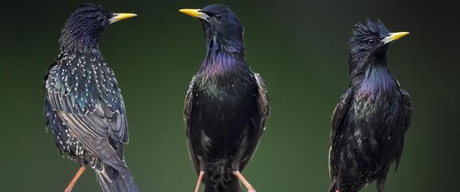 De utrydningstruede fuglene drukner i hopetall. Ingen skj�nner hvorfor