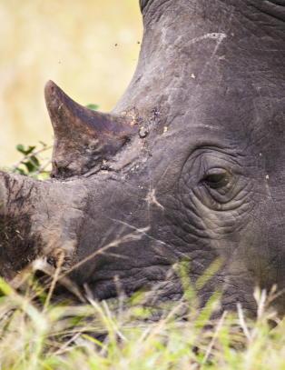 Opphever forbudet mot handel med neshorn-horn