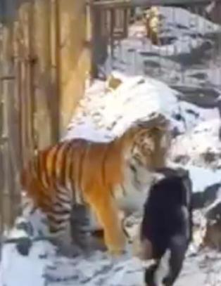 Geita ble kastet inn som tigermat. N� er de uatskillelige