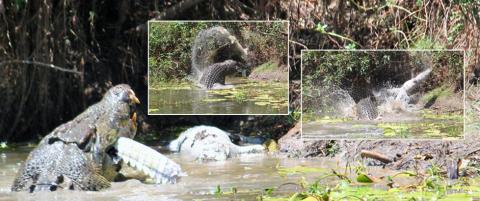 Krokodille aner fred og ingen fare. S� dukker det opp en fem meter lang gigant