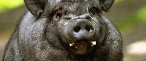 S�ker etter gris til Erlend Loe-teater