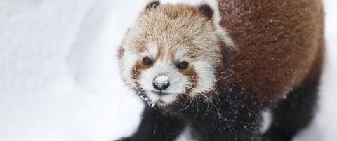 Panda har v�rt savnet et d�gn i Kristiansand. Dyreparken advarer