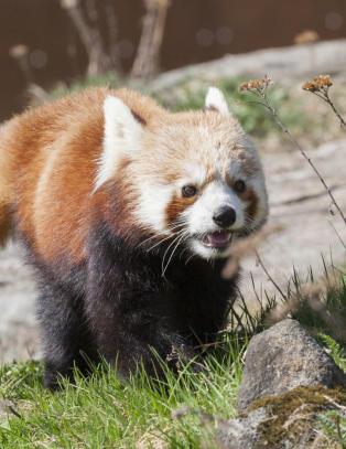 Pandadramaet i Kristiansand: Krysset E18 i g�r, men ble borte i skogen igjen