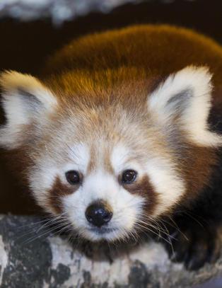Pandaen Adrian (3) er s�kk borte, ny leteaksjon i dag