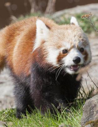 Savnet panda funnet i et tre