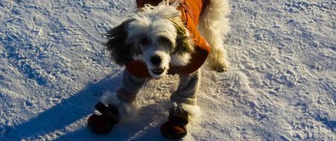 Bikkjekaldt: sokker og hundefrakk fra minus 4