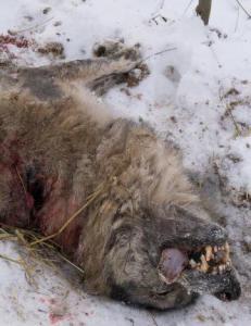 Den skabbete ulven var alfahannen i �stmarka