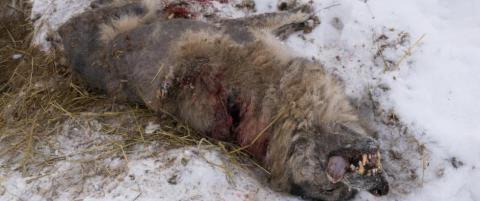Tok livet av alfahannen. N� er det 37 ulver igjen