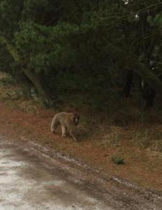 Advarer folk mot bavian p� flukt fra dyrehage