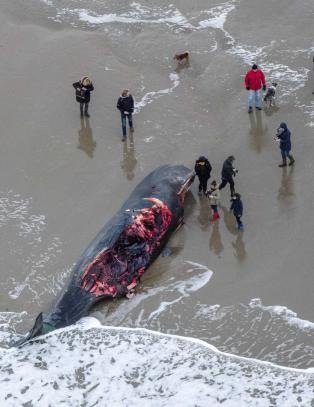 Flere grupper spermhval har strandet siste uka