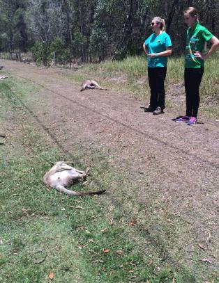 Drepte 17 kenguruer: - Snudde for � drepe flere