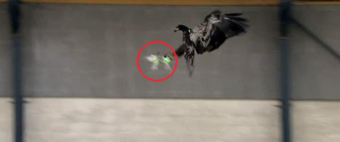 Ørn fanger farlige droner i luften som om de var bytte
