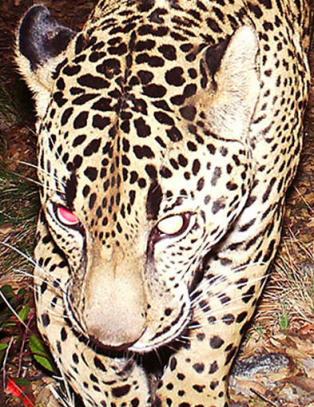Endelig er mystiske �El Jefe� - USAs eneste ville jaguar - fanget p� film