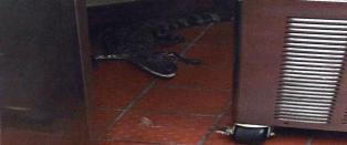 Kastet alligator gjennom vinduet p� drive-thru-restaurant og stakk av fra regninga