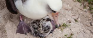 Verdens eldste fugl har blitt mor som 65-�ring