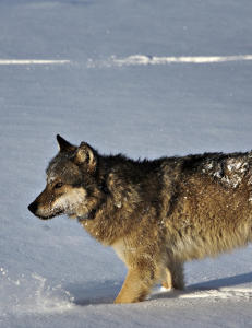Rekordmange ulver i Norge - og ny valperekord