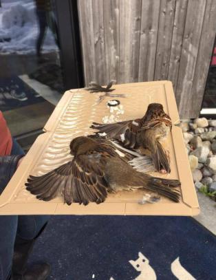McDonald's i Kristiansand hadde limbrett i taket. To fugler m�tte avlives etter at de satte seg fast