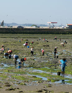 Når sjøen trekker seg tilbake utenfor den lille galiciske byen, starter kvinnene å plukke hjerteskjell på stranda