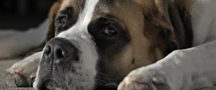 Ber hundeeiere passe seg for parasitt