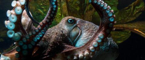 Blekkspruten Inkys ville flukt forbauser verden: - Han la ikke igjen noen lapp, engang