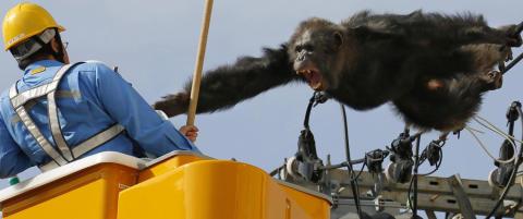 To timer lang ape-jakt i japansk storby etter at Cha Cha stakk fra dyrehage