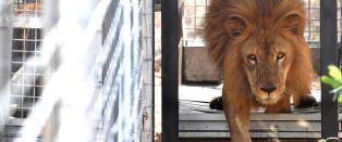 Reddet 33 mishandlede sirkusl�ver: - Aldri v�rt ute i naturen