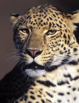 Seksåring skambitt og dratt 30 meter innover bushen av leopard. Så grep faren inn.