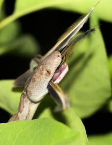 Helt ny art oppdaget: Forskeren v�knet br�tt da denne buktet seg over ansiktet hans om natta