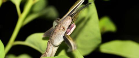 Helt ny art oppdaget: Forskeren våknet brått da denne buktet seg over ansiktet hans om natta