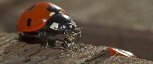 Danskene vil fylle droner med marih�ner og midd