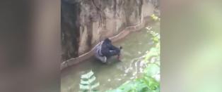 Her blir fire�ringen dratt gjennom vannet av 180 kilo tung gorilla