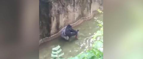 Her blir fireåringen dratt gjennom vannet av 180 kilo tung gorilla