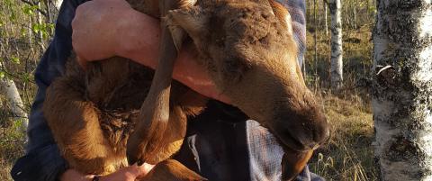 Her har Janne akkurat reddet den nyf�dte elgen fra drukningsd�den